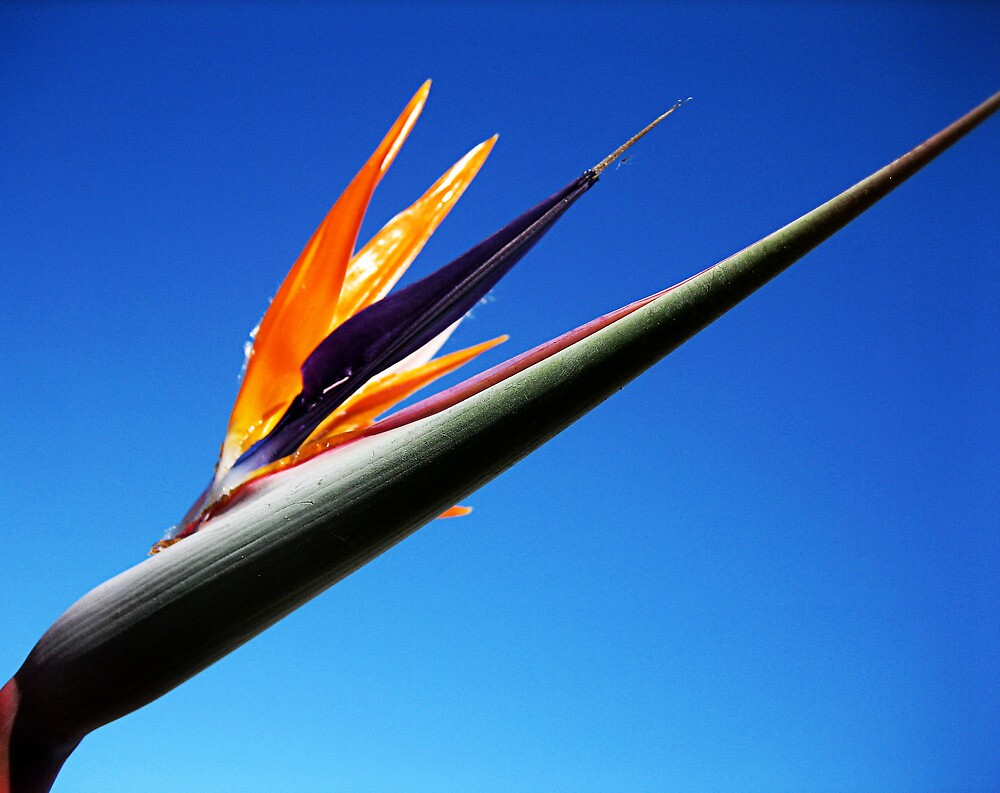 Bird of paradise by Kate Fortune