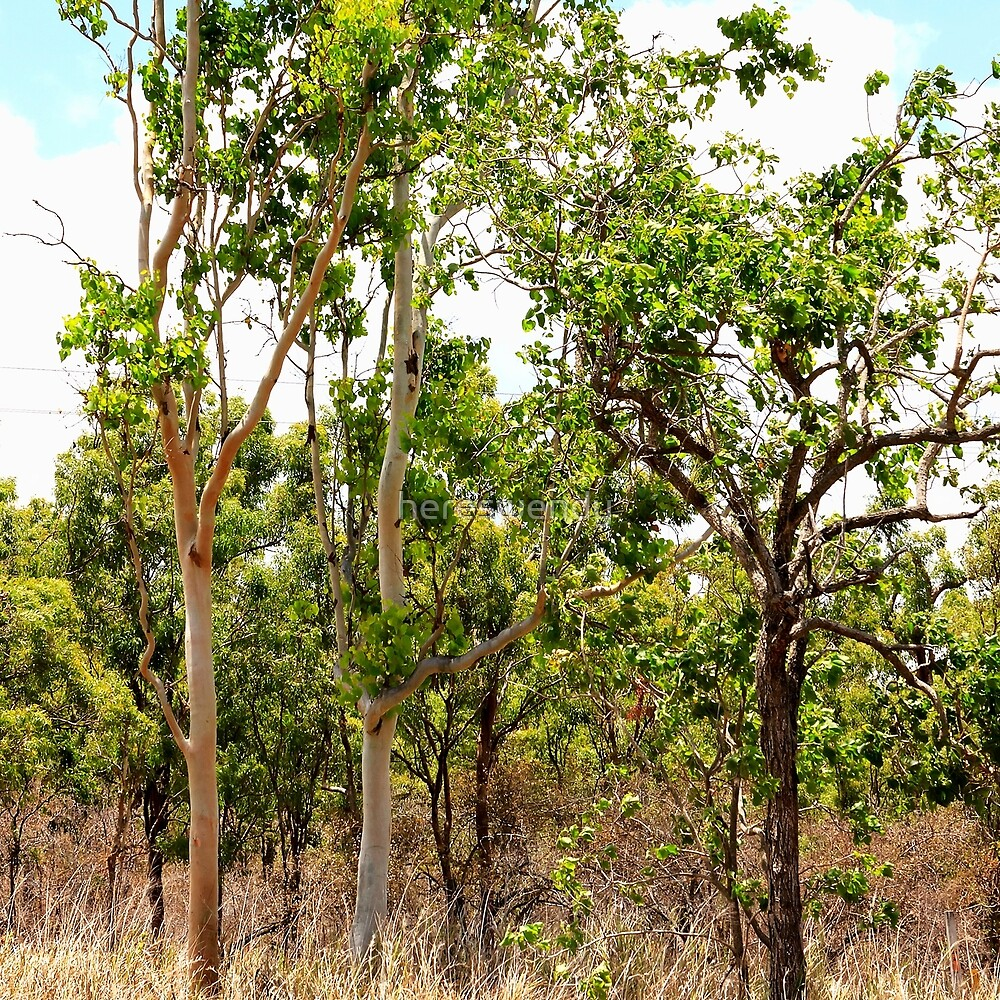 Eucalyptus Trees with Dry Grass by hereswendy