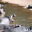 OK MR. CROC, SEE IF I'M SCARED! - Hippopotamus amphibious by Magriet Meintjes