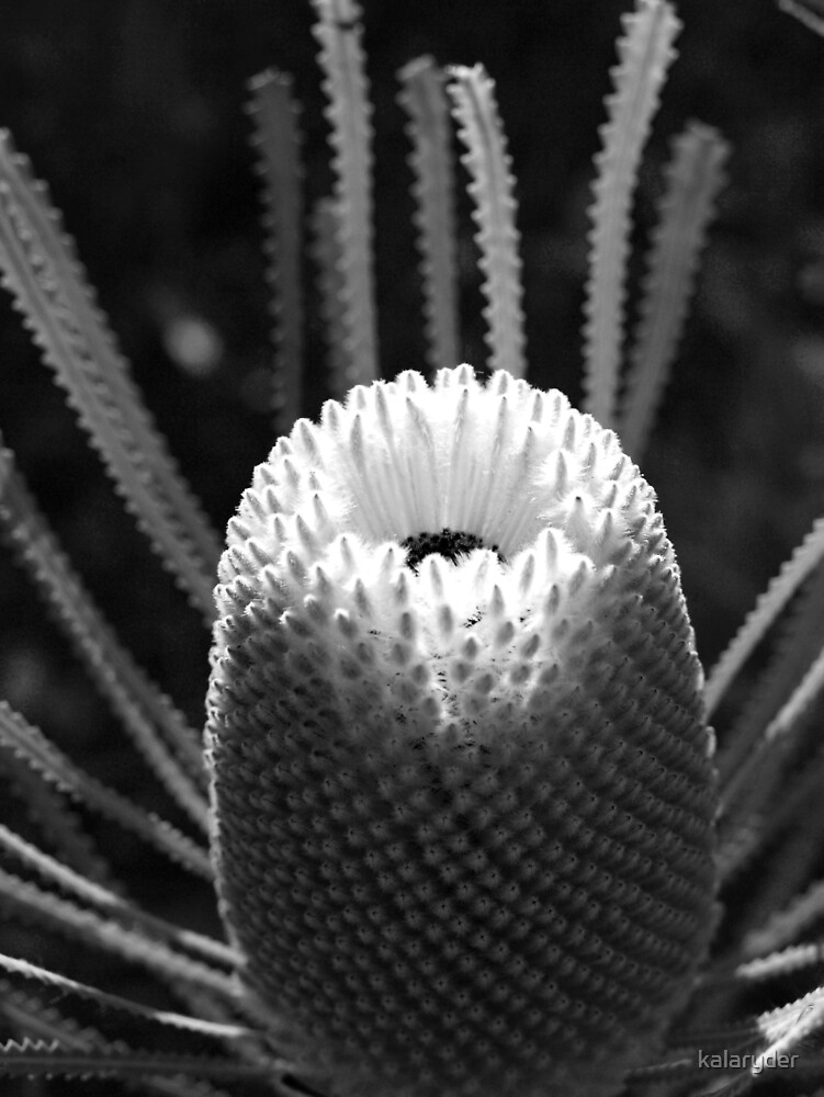 Banksia in Mono by kalaryder