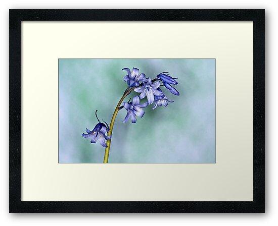 Bluebells by Steve Purnell