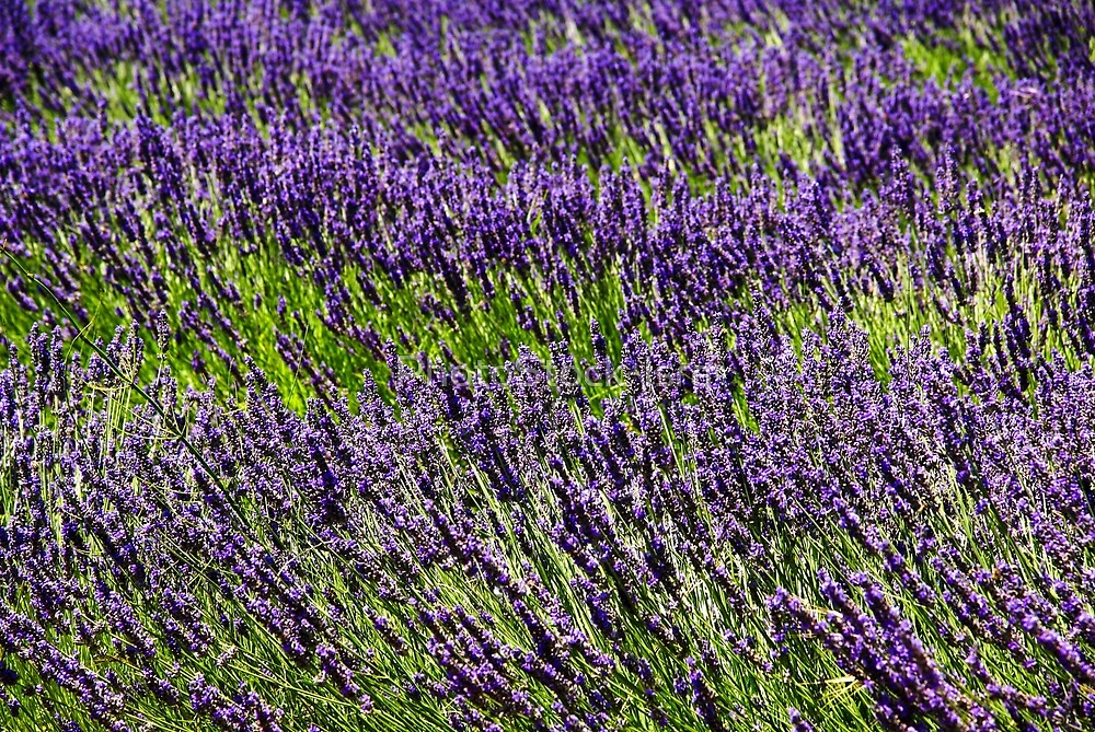 Lavender Fields. Photographed in Provence, France  by PhotoStock-Isra