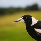 Magpie, Crowdy Head by Erland Howden