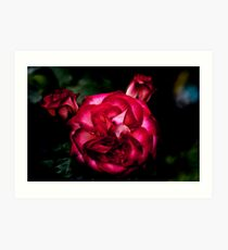TWO TONE RED ROSE Art Print