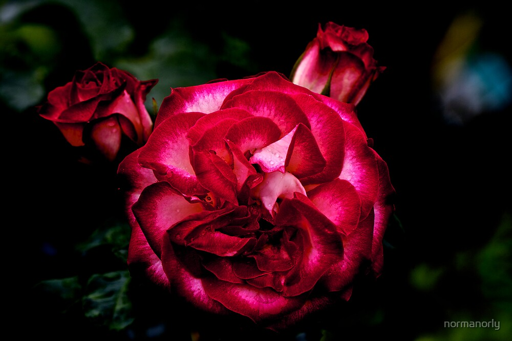 TWO TONE RED ROSE by normanorly