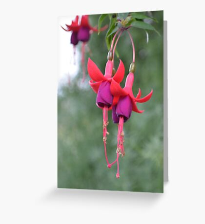 Hanging Fuschia Flowers Greeting Card