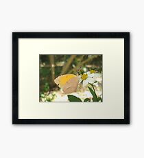 SLEEPY ORANGE ON BIDENS ALBA Framed Print
