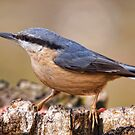 Nuthatch by Val Saxby