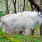 Mountain Goat by Kathy Yates