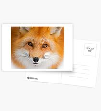 Fox Stare Postcards