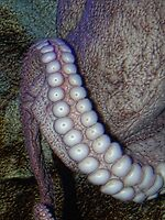 Octopus by vigor