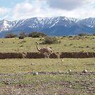 Nandu in Patagonia by SkiCC