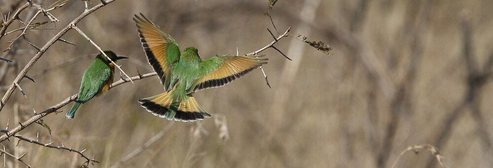 Little bee eater by Yves Roumazeilles