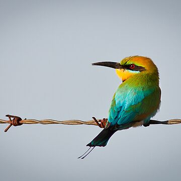 Rainbow bee eater by Jaykayl