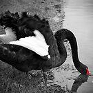 Black Swan, Perth, Western Australia by Kristi Robertson