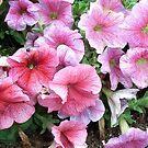 Pretty Pink Petunias, main street Cunderdin by Maureen Smith