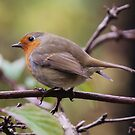 Robin by John Dunbar