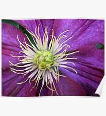 Rich Purple Clematis Supermacro Poster