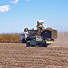 Farmer Checking the Harvest by Kim Austin