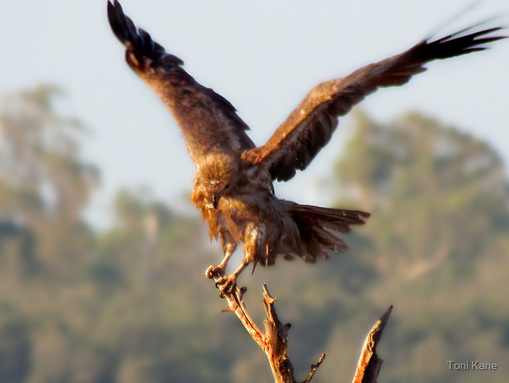 A Juvenile Eagle hmm will have to update this lol.  by Toni Kane