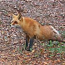 Red Fox Stretching by Kathy Baccari