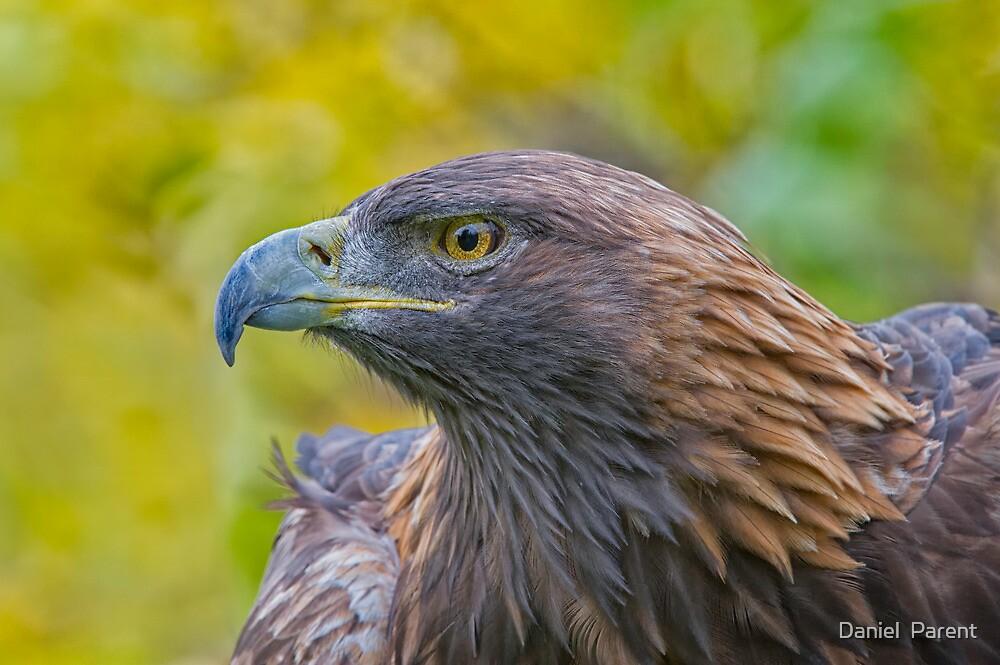 Golden Eagle Profile by Daniel  Parent