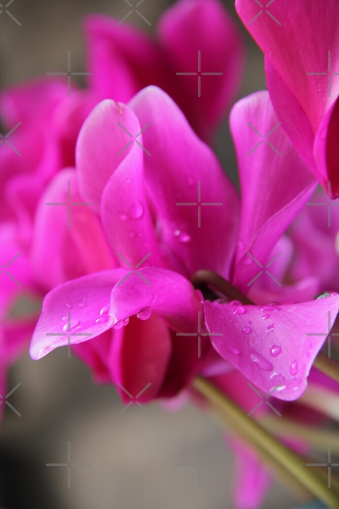 Pink Cyclamens with rain drops by Margarita K