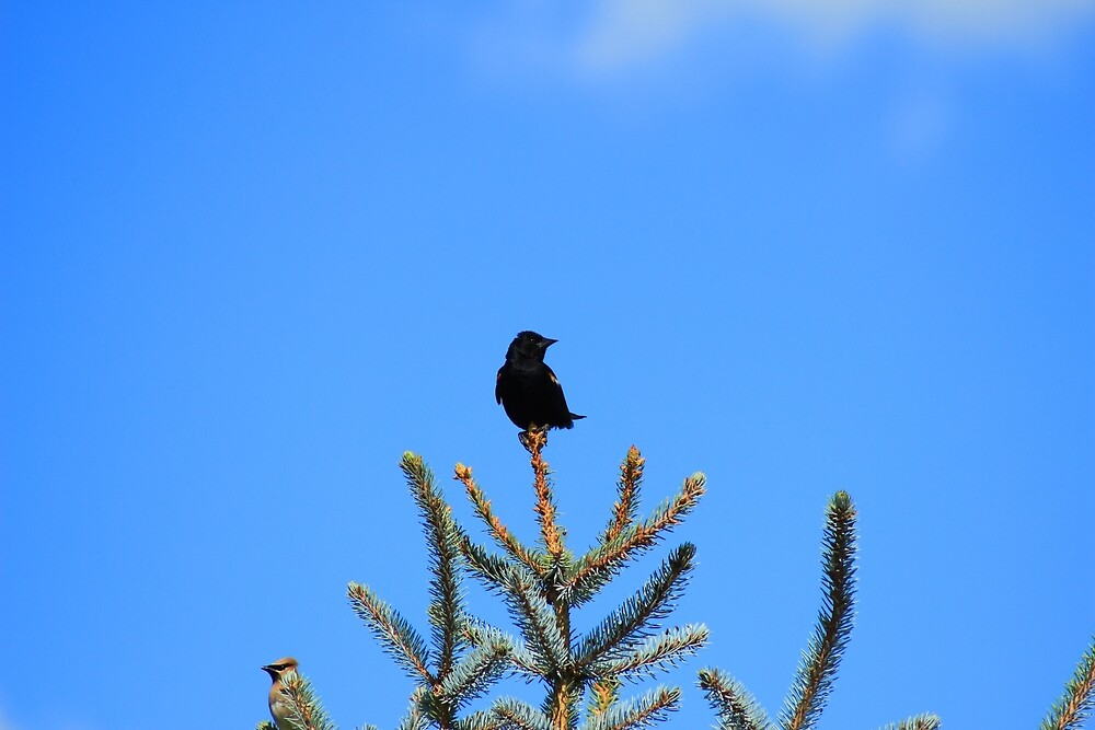 Red Winged Blackbird Perched on a Tree by rhamm