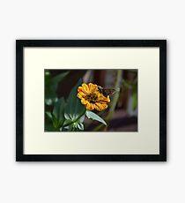 Moth on a Peppermint Zinnia Framed Print
