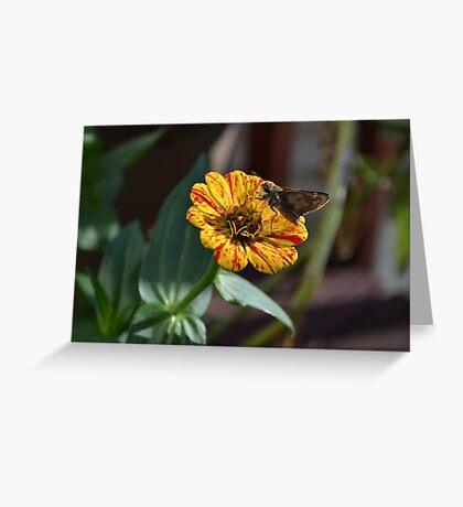 Moth on a Peppermint Zinnia Greeting Card