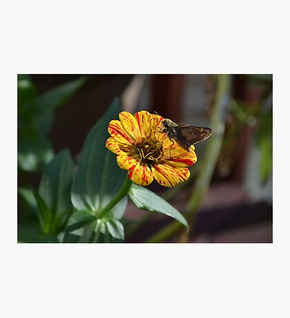 Moth on a Peppermint Zinnia Photographic Print