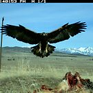 Final Approach - Adult Golden Eagle by Robbie Knight