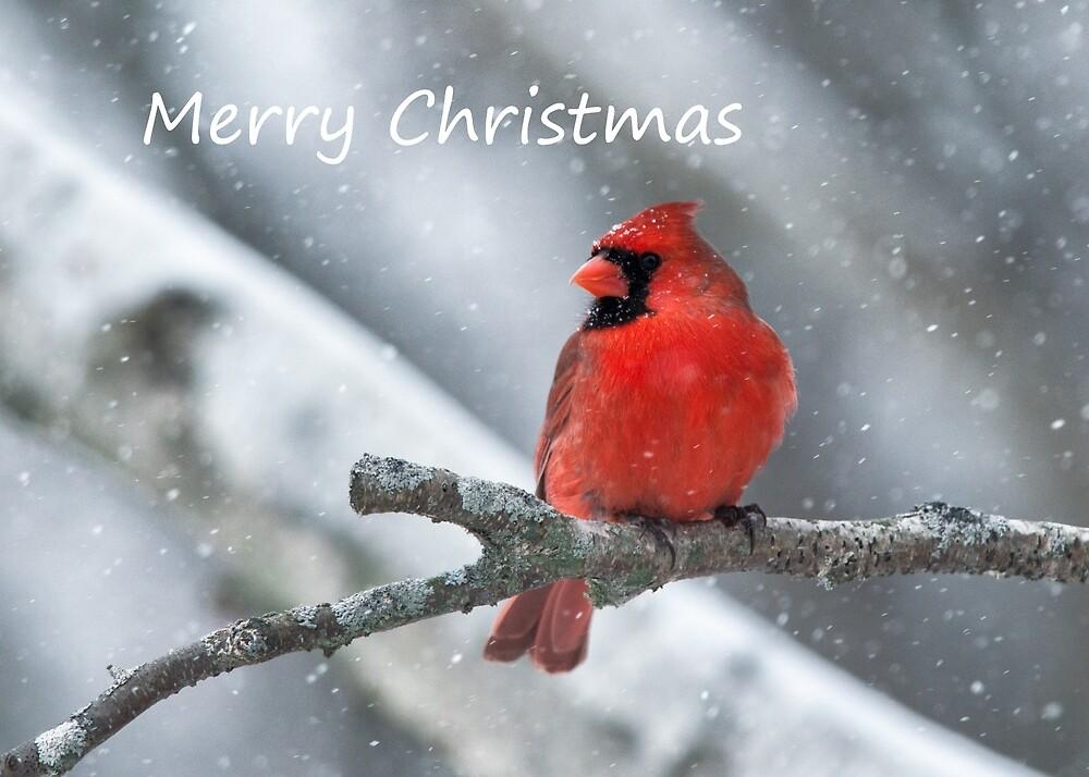 Cardinal on a Snowy Day by cardinal5