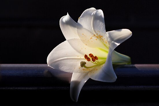 Quot White Lily On Black Background Quot Photographic Prints By
