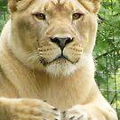 Lioness by DawnT