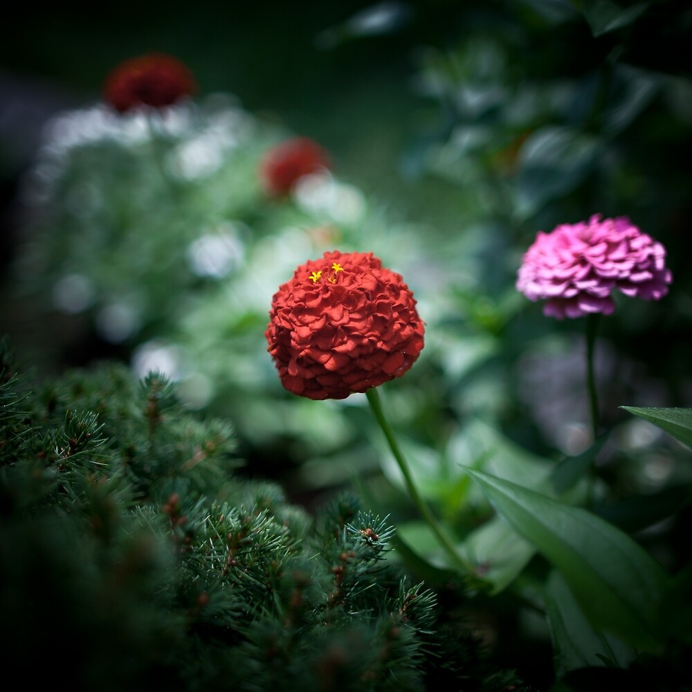 Red Zinnia by Natalie Parker