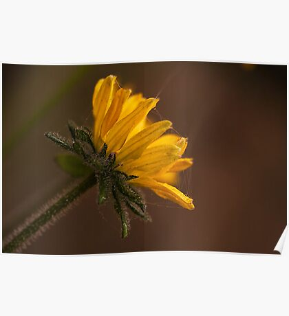 Sunflower Helianthus annuus 'Ebony & Gold' Poster
