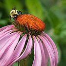Bee on Echinacea by Gerda Grice