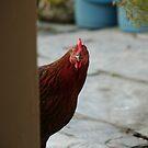 chicken by 64stops