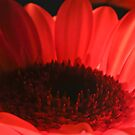 Orange Gerbera Daisy by Dave  Frost