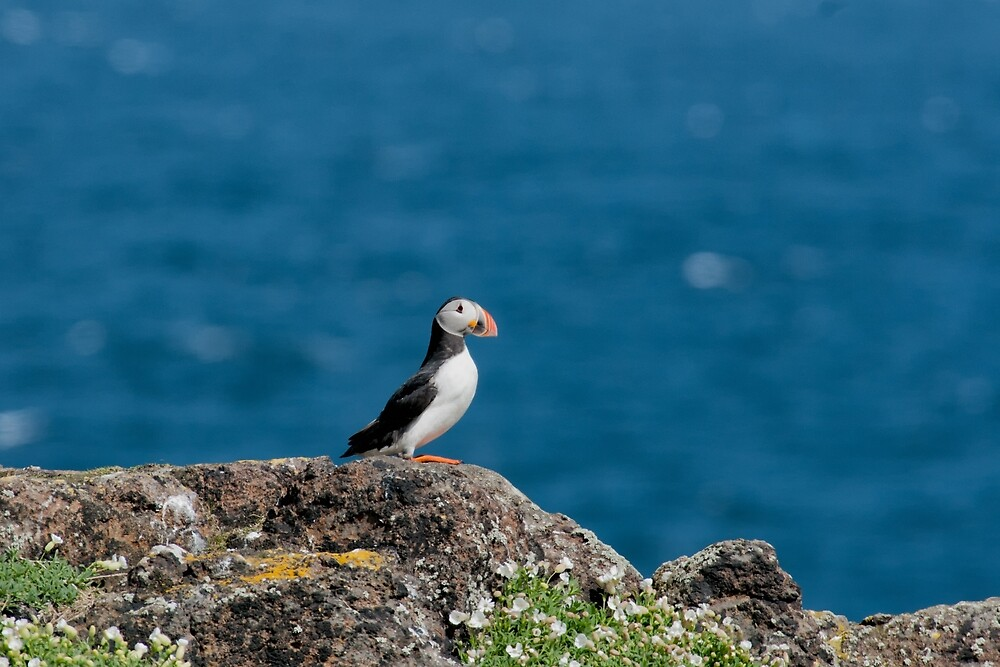 Puffin by cardinal5