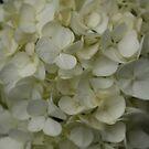 White Hydrangea, Alfred Nicholas Garden by Leigh Penfold
