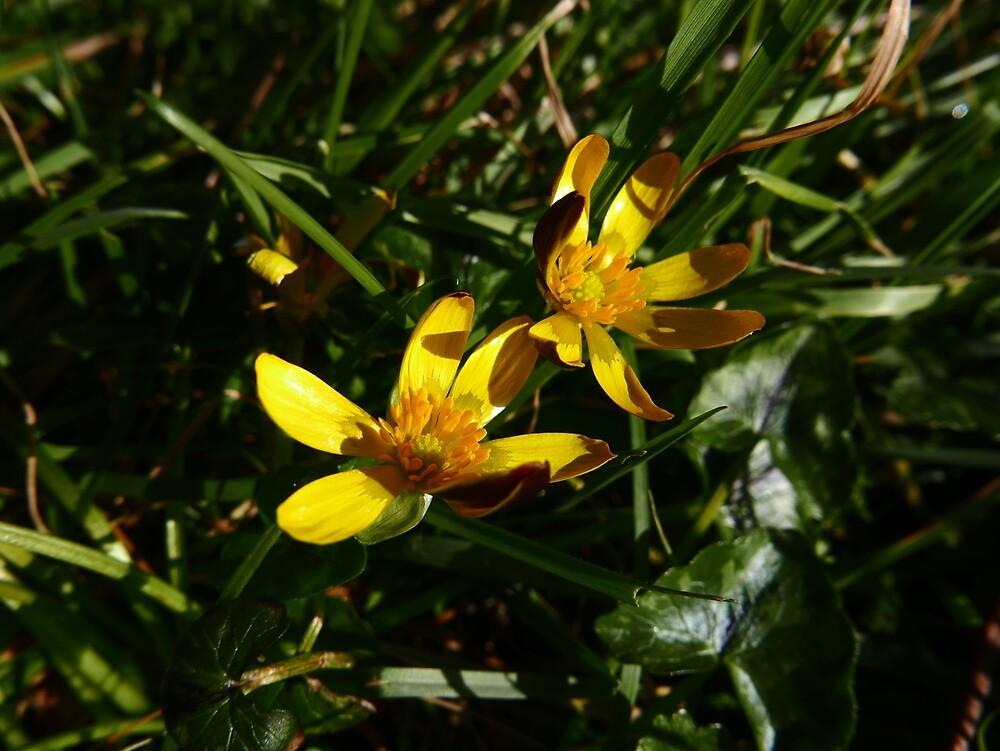 Lesser Celandine (Ficaria verna) by IOMWildFlowers