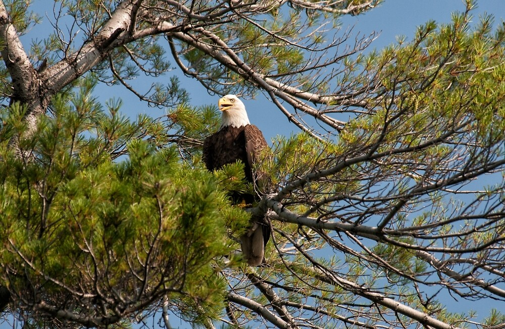 Bald Eagle by cardinal5