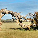 Greenough Leaning Tree by Eve Parry