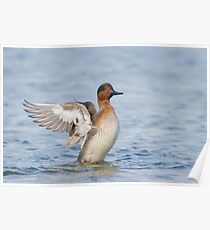 Green-winged Teal wingflap. Poster