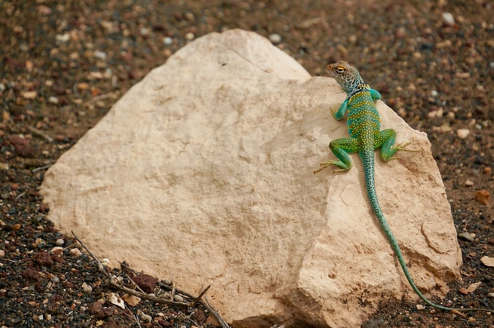 Collard Lizard  by Gina Dazzo