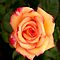 CLOSE UP-STRONG RICH PEACH ROSE