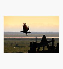 The black crow Photographic Print