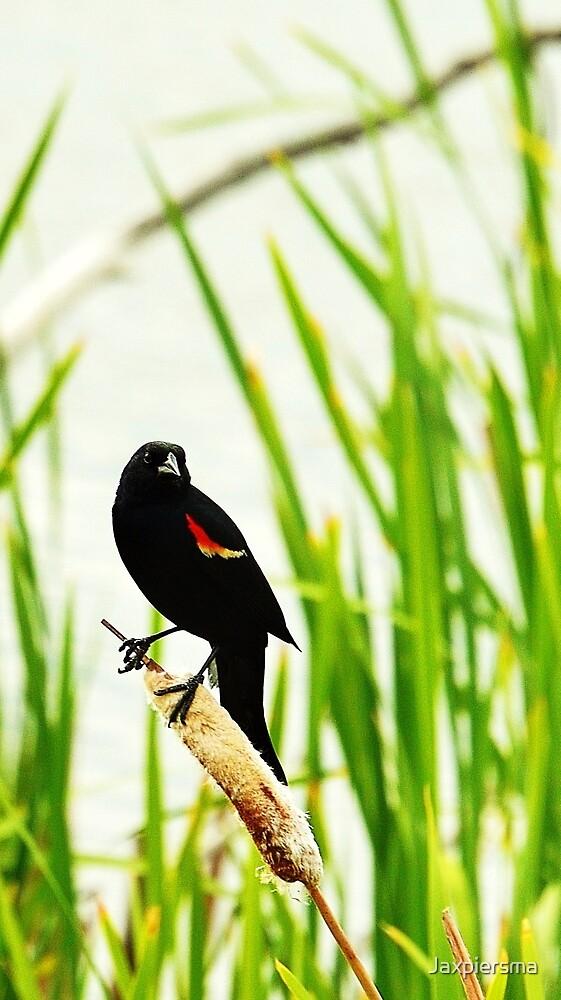 Redwing Blackbird by Jaxpiersma